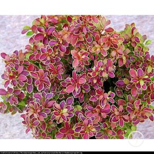 Berberys Golden Ring Berberis thunb. Golden Ring