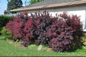 Perukowiec podolski  Royal Purple  Cotinus cog.  Royal Purple