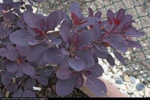 Perukowiec podolski  Royal Purple  Cotinus cog.  Royal Purple