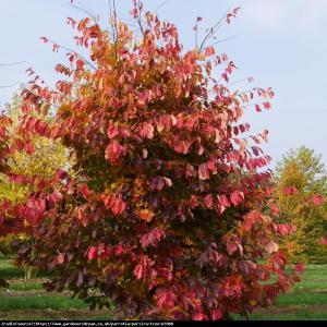 Parrocja perska Parrotia persica