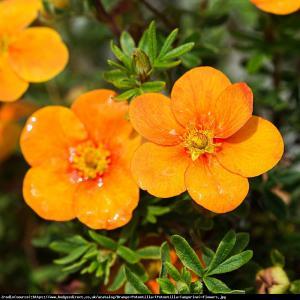 Pięciornik fruticosa Tangerine  Potentilla fruticosa Tangerine