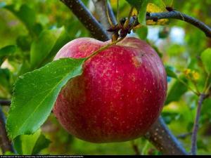 Jabłoń 'Szampion' Malus 'Szampion'