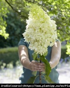 Hortensja bukietowa Skyfall PBR - NOWOŚĆ... Hydrangea paniculata SKYFALL