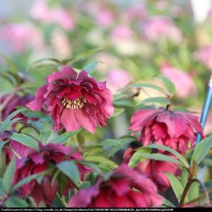 Ciemiernik wschodni Queens Double Red RARY... Helleborus orientalis Queens Double Red...