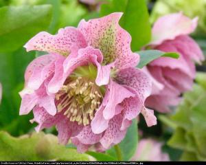 Ciemiernik Queens Double Pink RARYTAS... Helleborus orientalis Queens Double Pink...