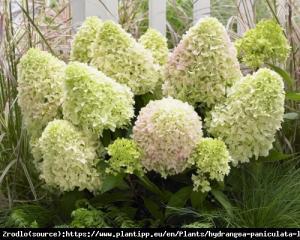 Hortensja bukietowa LITTLE FRAISE - UNIKAT... Hydrangea paniculata Little Fraise...