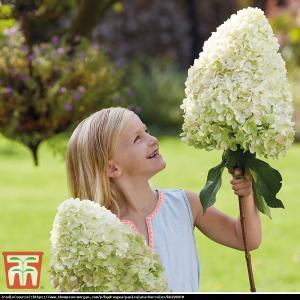 Hortensja bukietowa HERCULES - rarytas, OL... Hydrangea paniculata Hercules