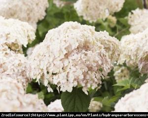Hortensja drzewiasta CANDYBELLE MARSHMALLO... Hydrangea arborescens Candybelle Marshmall...