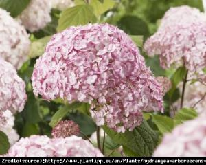 Hortensja drzewiasta CANDYBELLE BUBBLEGUM ... Hydrangea arborescens Candybelle Bubblegum...