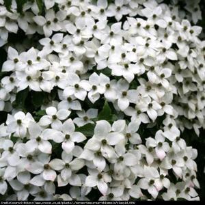 Dereń kousa odmiana chińska  Cornus kousa var. chinensis