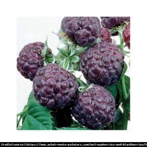 Malina FIOLETOWA Glen Coe - UNIKAT, aromat... Rubus idaeus Glen Coe