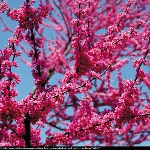 Judaszowiec kanadyjski Appalachian Red - N... Cercis canadensis Appalachian Red...