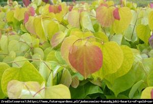Judaszowiec kanadyjski Melon Beauty - MUŚ... Cercis canadensis Melon Beauty