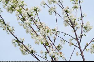 Wiśnia Kelleris Prunus Kelleris