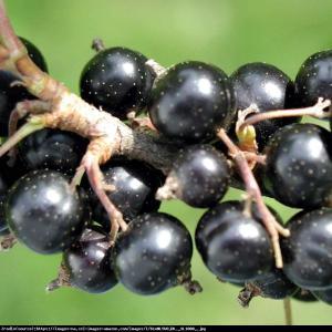 Porzeczka czarna Ribes nigrum