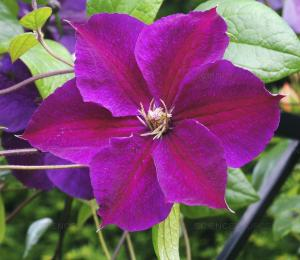 Powojnik Star of India - NIEZAWODNY, OBFIC... Clematis Star of India