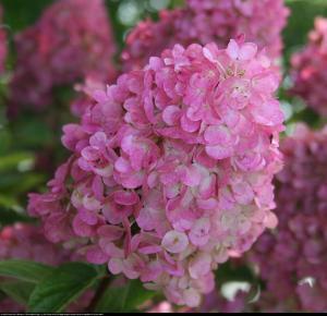 Hortensja bukietowa SUNDAE FRAISE- miniatu... Hydrangea paniculata Sunday Fraise...