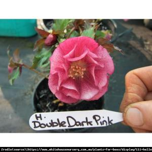 Ciemiernik wschodni King Double Dark Pink-... Helleborus orientalis King Double Dark Pin...