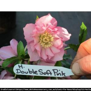 Ciemiernik wschodni King Double Light Pink... Helleborus orientalis King Double Light Pi...