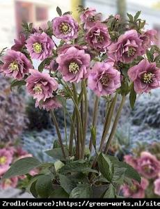 Ciemiernik wschodni King Double Pink - UNI... Helleborus orientalis King Double Pink...