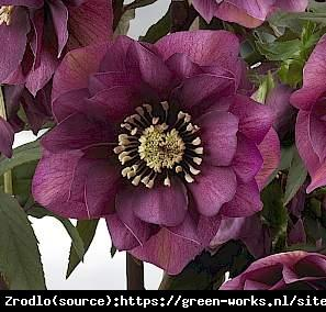Ciemiernik wschodni King Double Red - UNIK... Helleborus orientalis King Double Red...