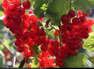 Porzeczka czerwona Rovada pienna Ribes rubrum Rovada