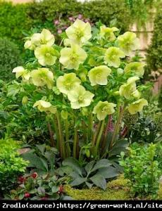 Ciemiernik wschodni King Yellow - ZŁOTY K... Helleborus orientalis King Yellow...