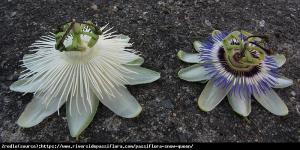 Męczennica Snow Queen - Duże kwiaty, CZY... Passiflora Snow Queen