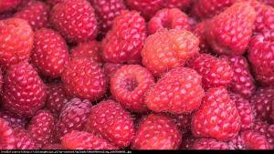 Malina właściwa Polesie Rubus idaeus Polesie