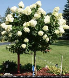 Hortensja bukietowa Limelight - limonkowa ... Hydrangea paniculata Limelight