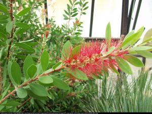 Kuflik Leavis   Callistemon Leavis