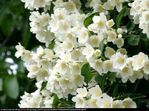 Jaśminowiec Biały Karzeł Philadelphus Biały Karzeł