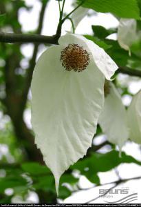 Dawidia chińska odm. Vilmorina -  Davidia involucrata var. vilmoriniana ...