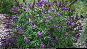 Budleja Dawida  Black Knight  Buddleja davidii  Black Knight