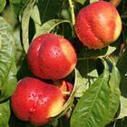 Nektaryna Venus - SOCZYSTA i SŁODKA, HIT!... Prunus persica var. nucipersica VENUS...