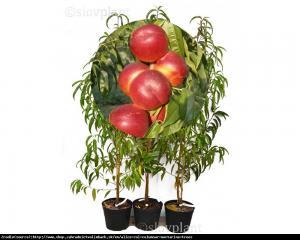 Nektaryna kolumnowa ALICE - idealna na bal... Prunus persica var. nucipersica ALICE...