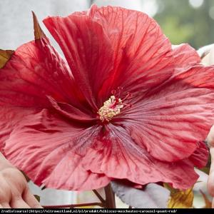 Hibiskus bylinowy CAROUSEL  GEANT RED - zi... Hibiscus moscheutos Carousel Geant Red...