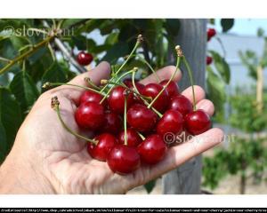 Wiśnia kolumnowa JACHIM - NOWOŚĆ, duży... Prunus Jachim