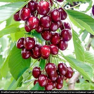 Czereśnio - wiśnia kolumnowa Caroline - ... Prunus Caroline