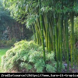 Bambus ogrodowy - MROZOODPORNY, soczysta z... Phyllostachys bissetii