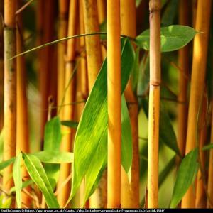 Bambus ogrodowy - ZŁOTO - ŻÓŁTE łodyg... Phyllostachys aureosulcata 'Aureocaulis�...