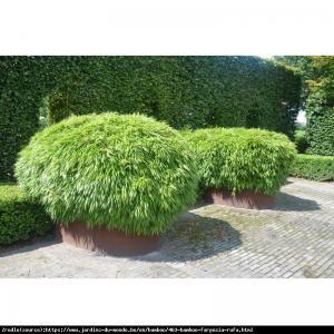 Bambus ogrodowy - soczysta zieleń, MROZOO... Fargesia rufa Fargesia rdzawa