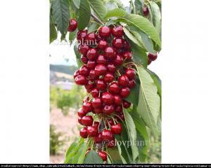 Czereśnia kolumnowa SYLWIA - Wczesna, ODP... Prunus avium Sylwia