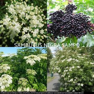 Bez czarny Sampo - OGROMNE KWIATOSTANY i D... Sambucus nigra Sampo