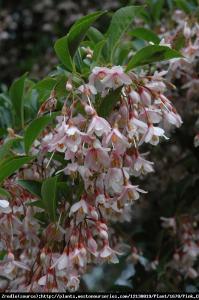 Styrak japoński Pink Chimes - RÓŻOWA pe... Styrax japonicus Pink Chimes