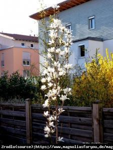 Magnolia japońska ISIS - KOLUMNOWY pokró... Magnolia kobus ISIS