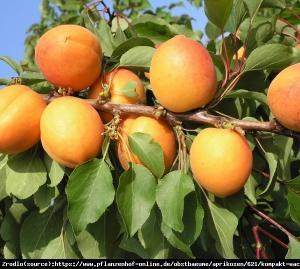 Morela kolumnowa COMPACTA - Idealna do ma�... Prunus armeniaca COMPACTA