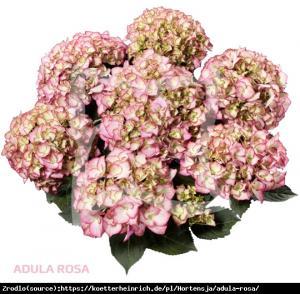 Hortensja ogrodowa Adula Pink- UNIKAT, dwu... Hydrangea macrophylla ADULA Pink