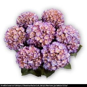 Hortensja ogrodowa Adula Purple- UNIKAT, d... Hydrangea macrophylla ADULA Purple...
