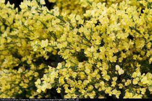 Szczodrzeniec wczesny Allgold Cytisus pracecox Allgold